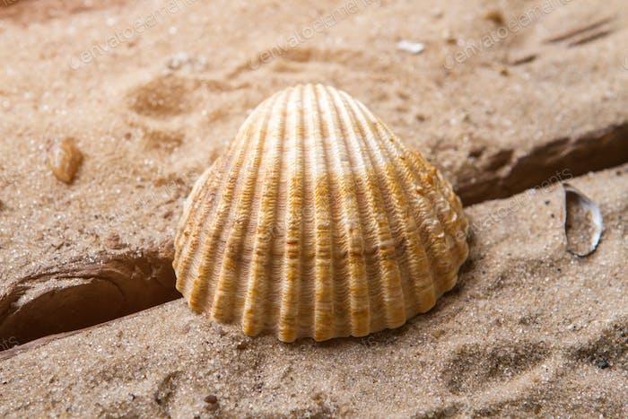 Scallop seashell on sand background