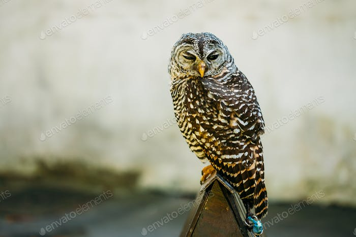 The rufous-legged owl  is a medium sized owl with no ear tufts
