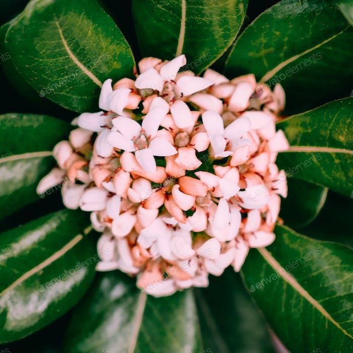 Kanarische Insel Blume. Pflanzenliebhaber Konzept