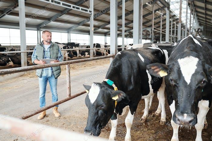 Selbstbewusster Arbeiter des großen Milchviehbetriebs mit Touchpad stehen am Kuhstall