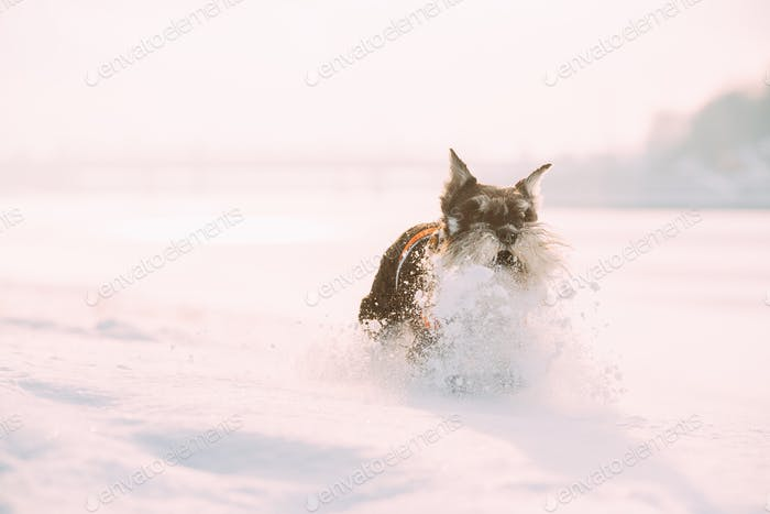 Miniature Schnauzer Dog Or Zwergschnauzer In Outfit Playing Fast Running In Snow Snowdrift At Winter