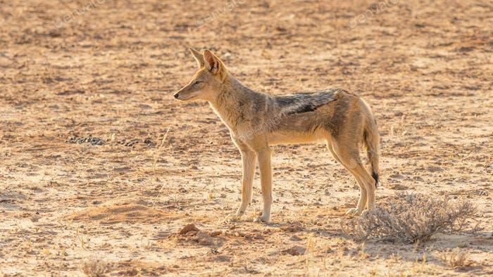 Ein Schwarz-Backed Schakal in den Kalahari