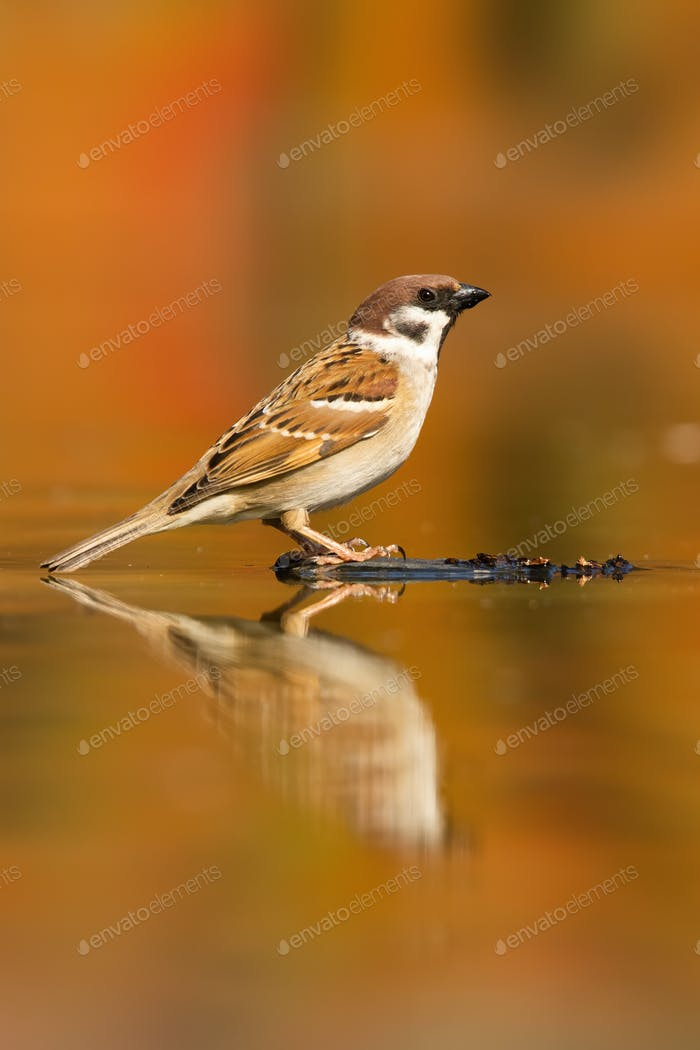 Eurasian tree sparrow sitting on wood in the water