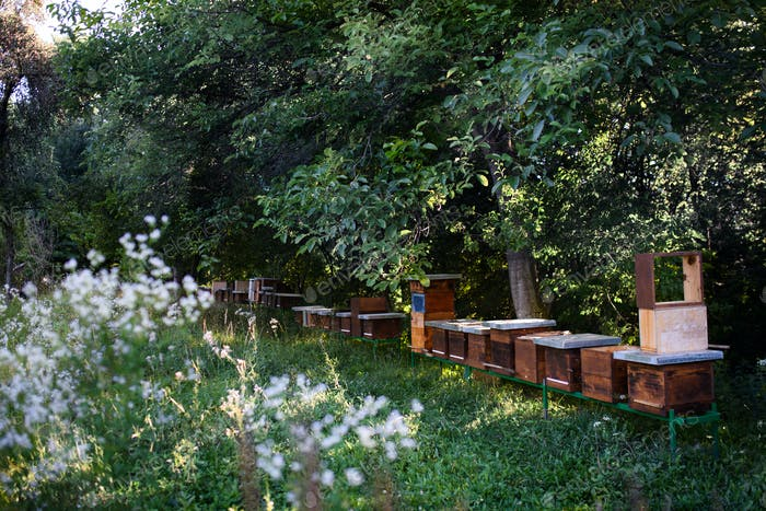 Wooden beehives under trees in the apiary