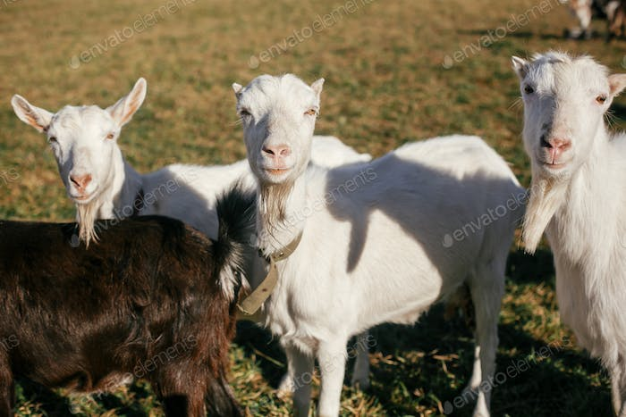 Sweet goats with funny beards on background of other goats grazing