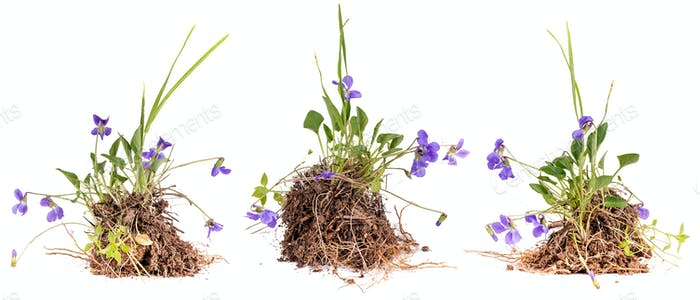 Wild viola flowers