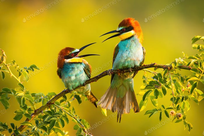 Two european bee-eater sitting on branch in summer