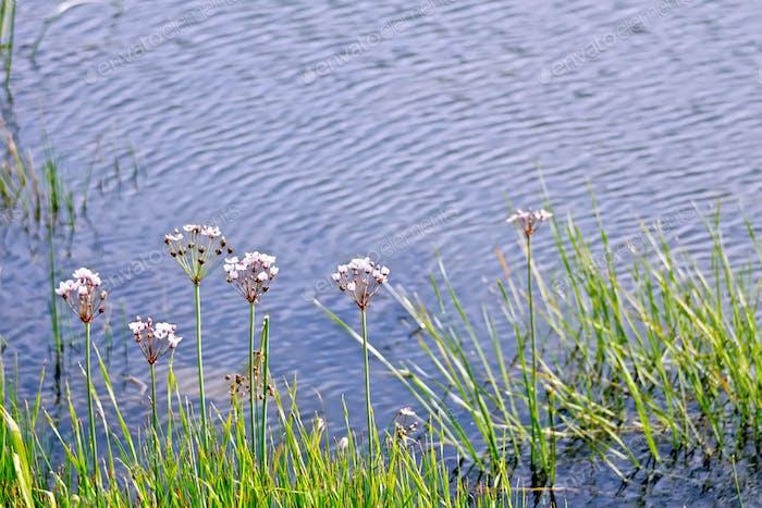 Butomus umbellatus on lake