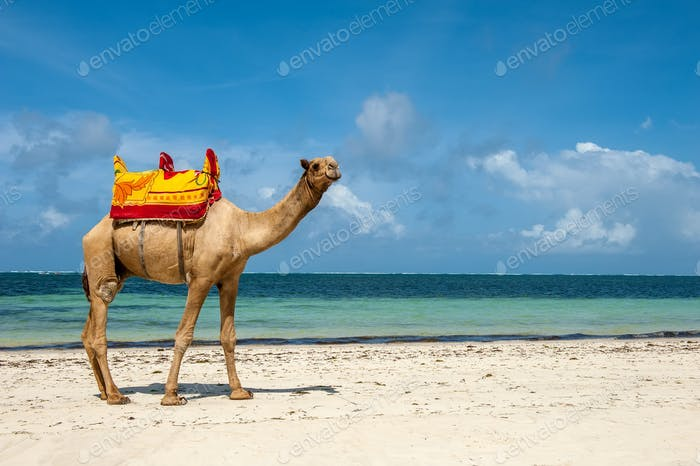 Camel on a beach coast