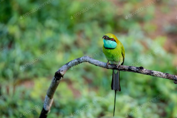 Green bee-eater or Merops orientalis