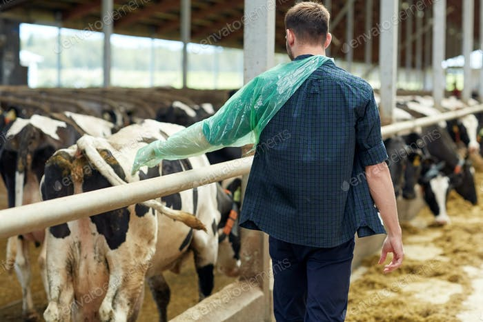farmer in veterinary glove with cows on dairy farm