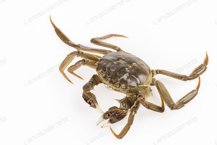 exhale bubble of living crab closeup