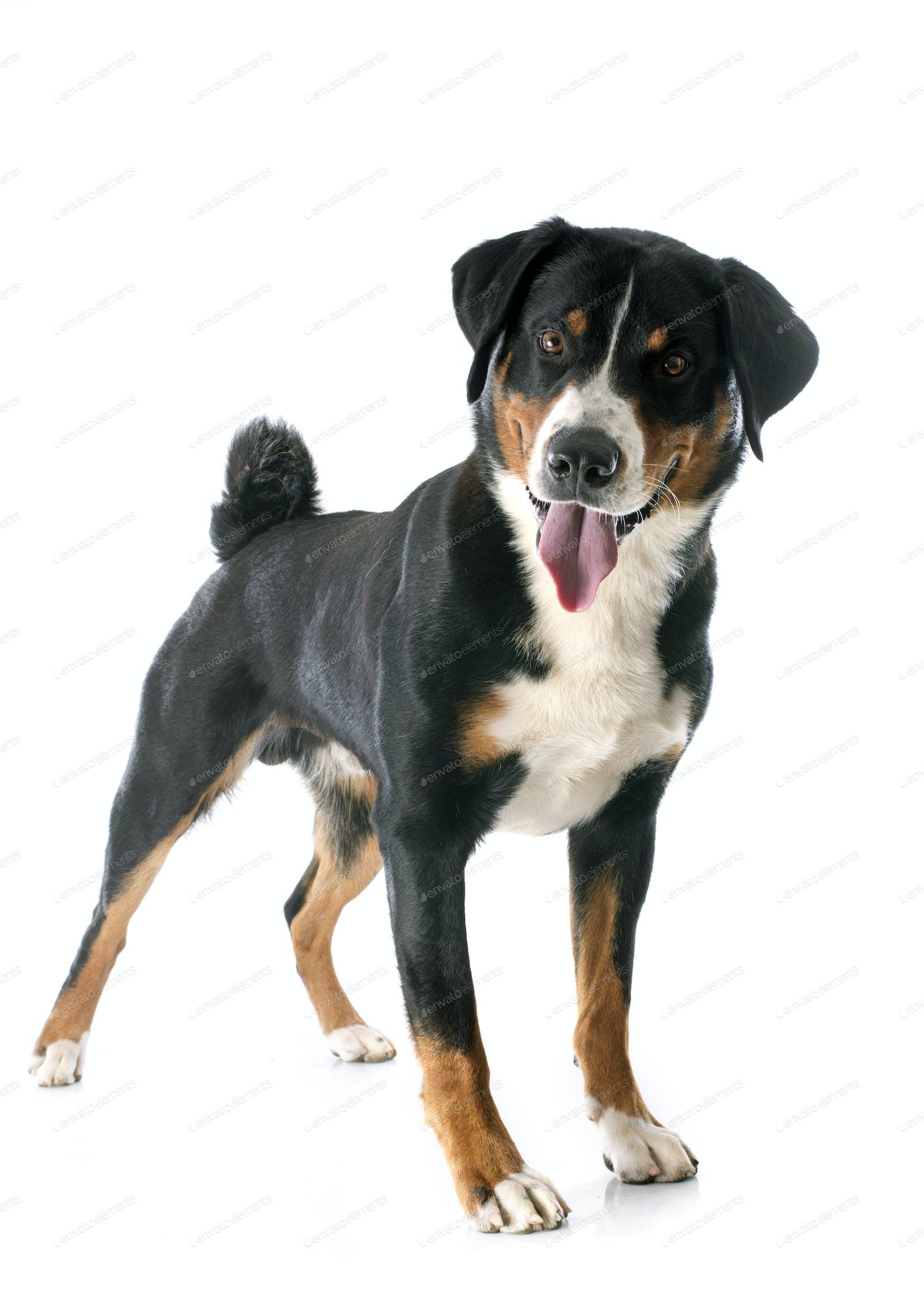 Appenzeller Sennenhund Photo By Cynoclub On Envato Elements