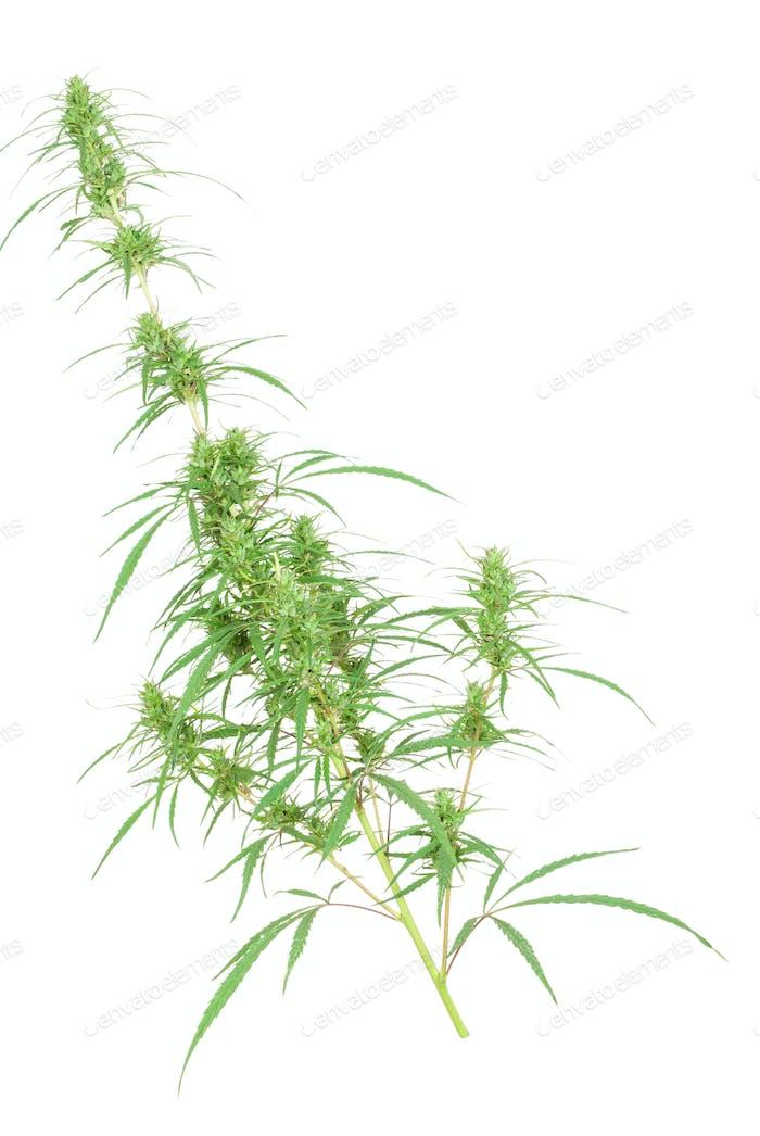 Zweig der Cannabispflanze mit Knospen