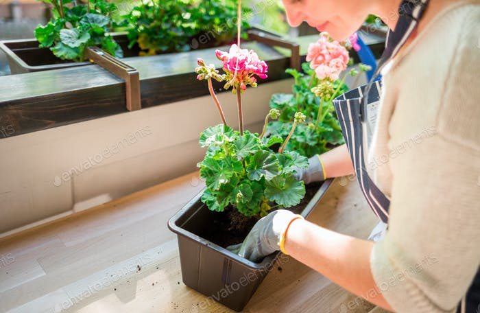 Planting flowers on balcony close up