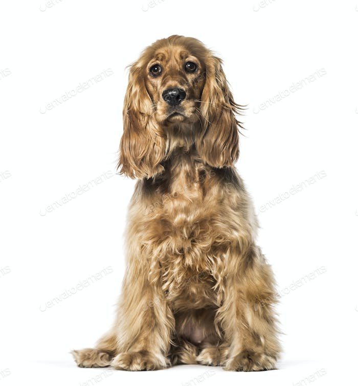English Cocker sitting in front of white background