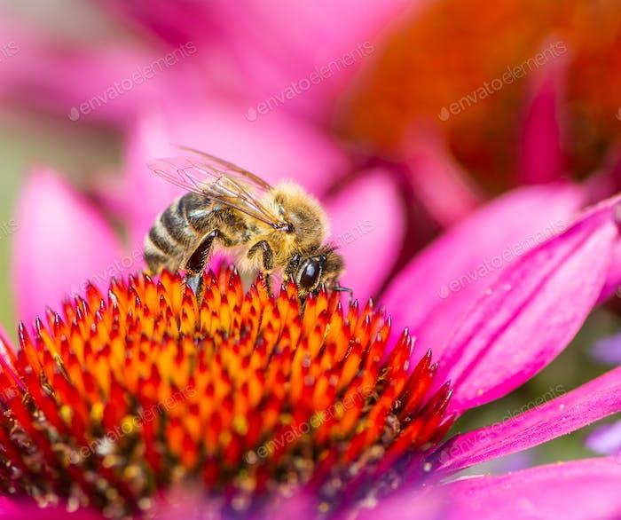 Bienen sammeln Nektar in einer Echinacea Blüte