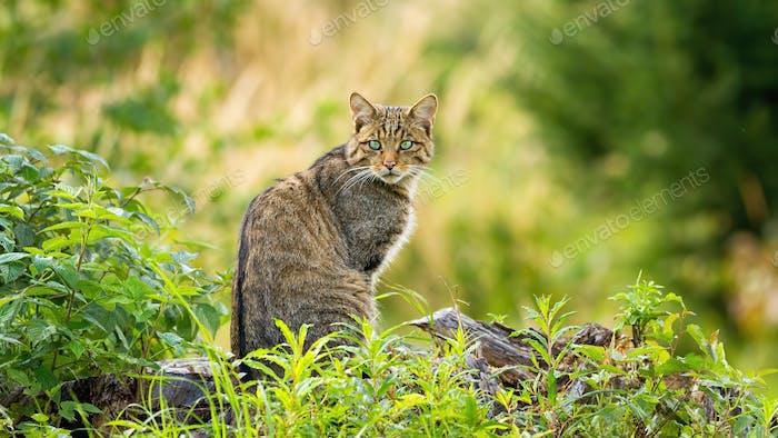 Surprised european wildcat sitting on a horizon in spring forest