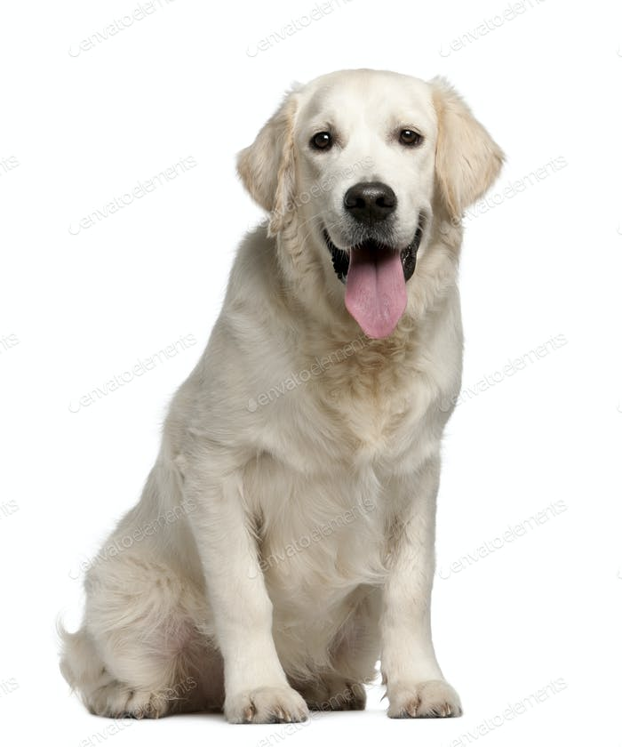 Golden Retriever, 7 months old, panting in front of white background