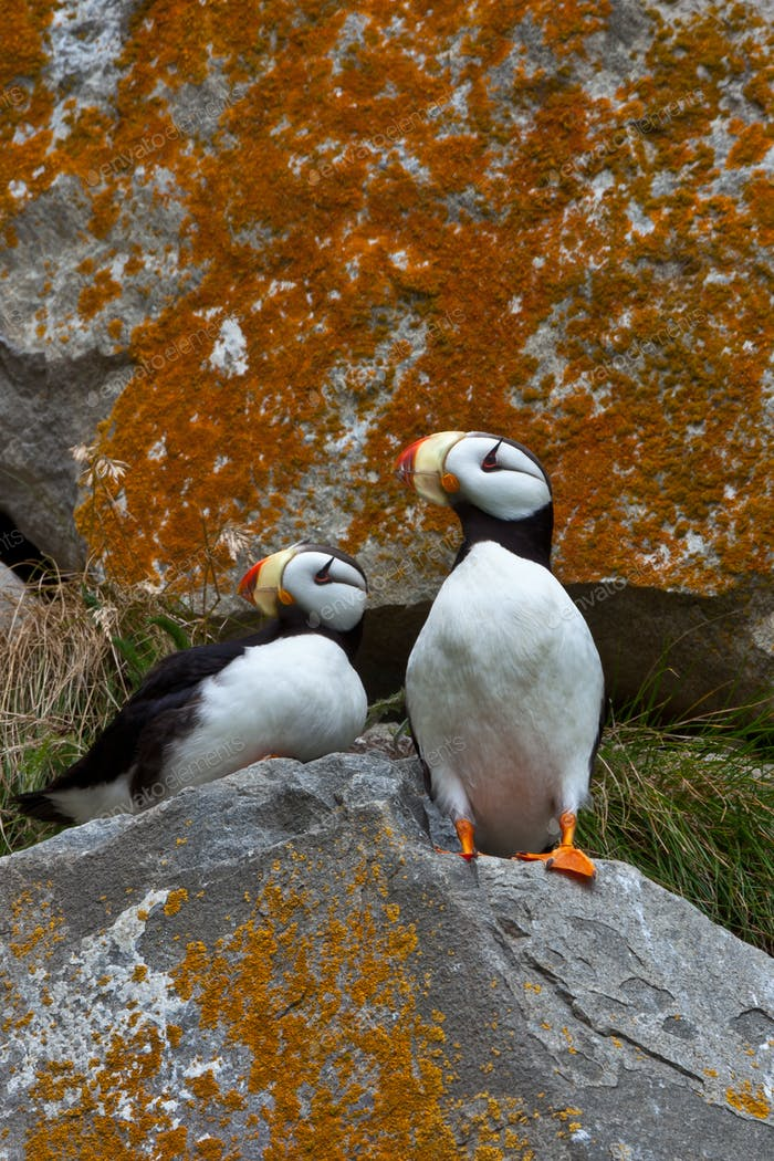 Puffins on a lichen-covered cliff, Horned puffins, Fratercula corniculata