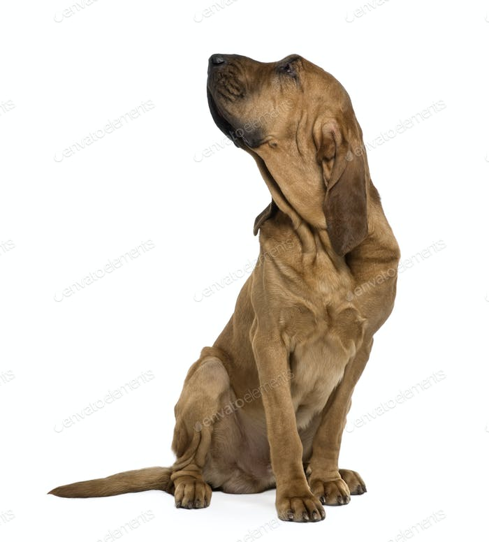 Saint-Hubert dog, 1 year old, sitting in front of white background