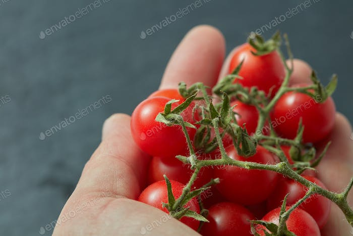 Red cherry tomatoes in a man's hand