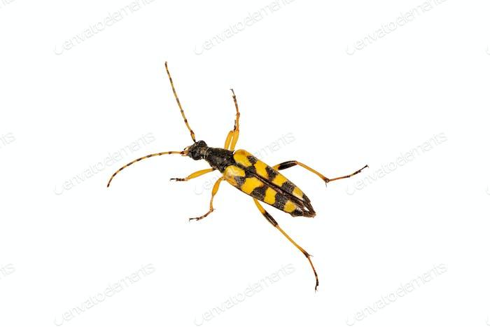 Käfer (Leptura maculata) auf weißem Hintergrund