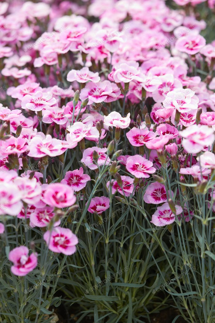 Pink dianthus flowers, carnations background