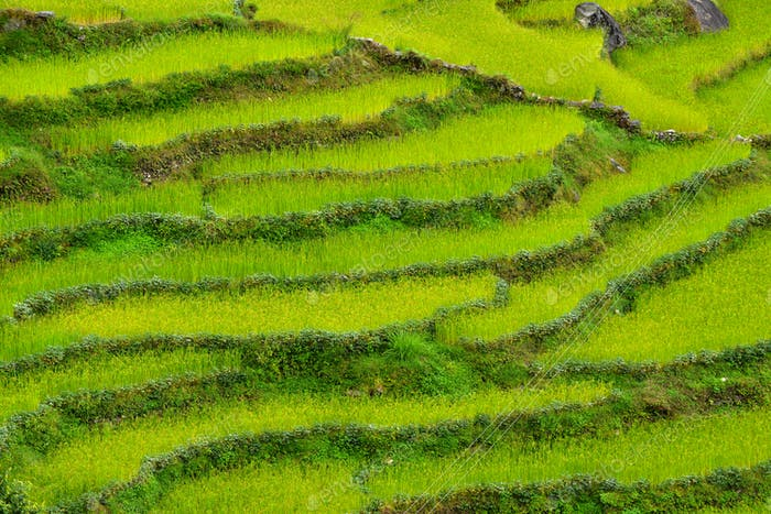 Green rice fields in Nepal
