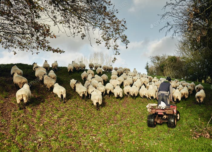 A farmer driving a quadbike herding a flock of sheep over the brow of a hill.