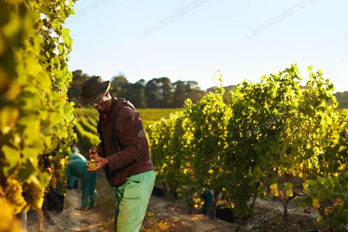 Menschen, die im Weinberg arbeiten