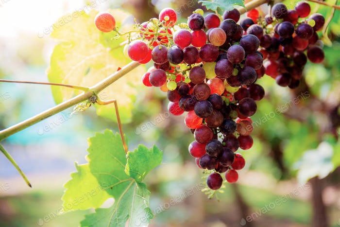 Red grapes of ripe at sunlight