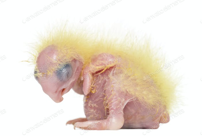 Sulphur-crested Cockatoo chick sleeping, Cacatua galerita, 4 days old against white background