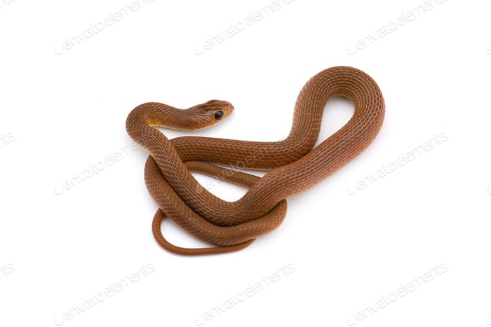 The rufous beaked snake isolated on white background
