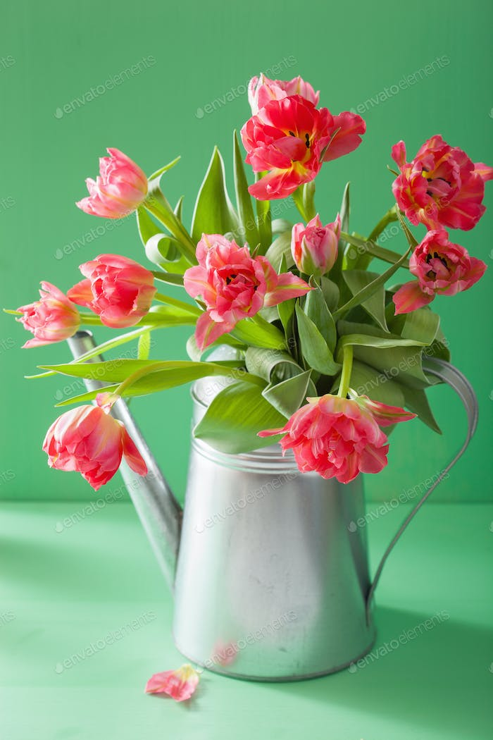 beautiful pink tulip flowers bouquet in watering can