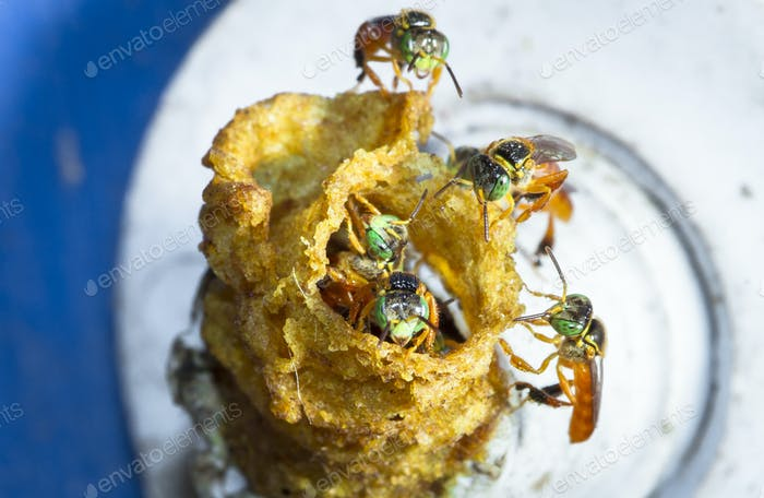 Stingless Bienen am Eingang zum Nest in Belize