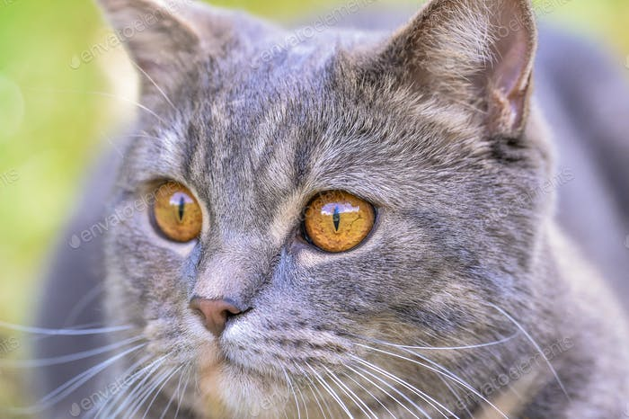 Cat British Breed