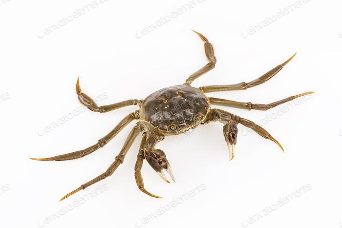 cyan living crab