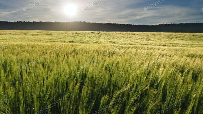 Weizenwiese bei Sonnenuntergang.