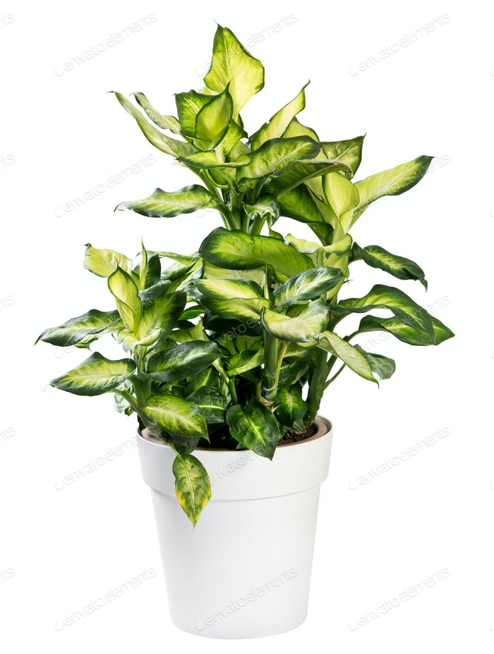 Variegated potted Dieffenbachia plant on white