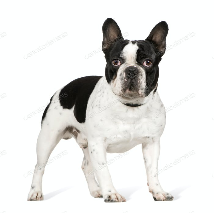 French Bulldog (1 year)