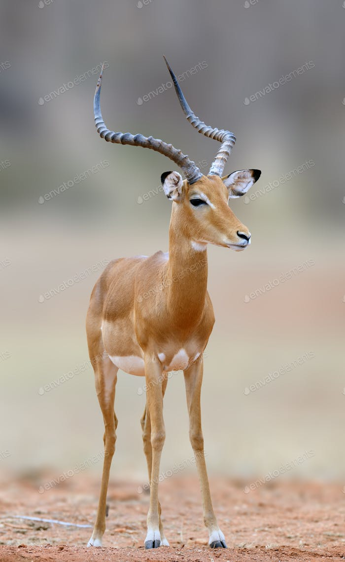 African Impala, animal in the nature habitat