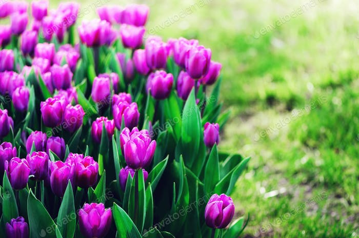 Violet, purple, lilac tulips background. Summer and spring concept, copy space. Tulip flowers field
