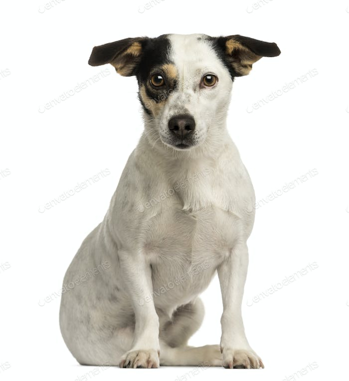 Jack russel terrier sitting, looking at the camera, isolated on white