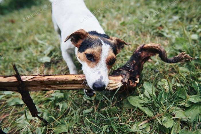 Niedlicher Hund Auffinden Zweig
