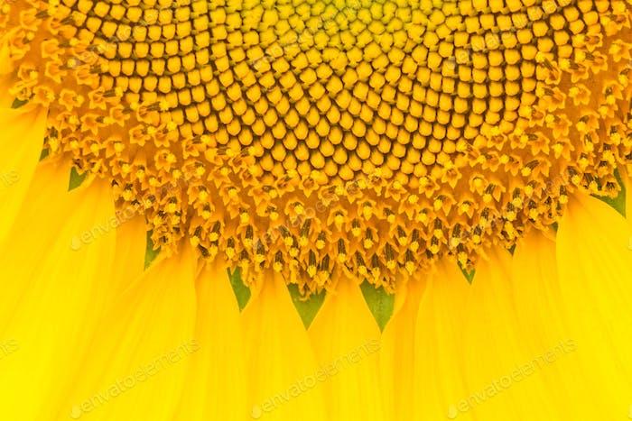 Sonnenblumenmuster