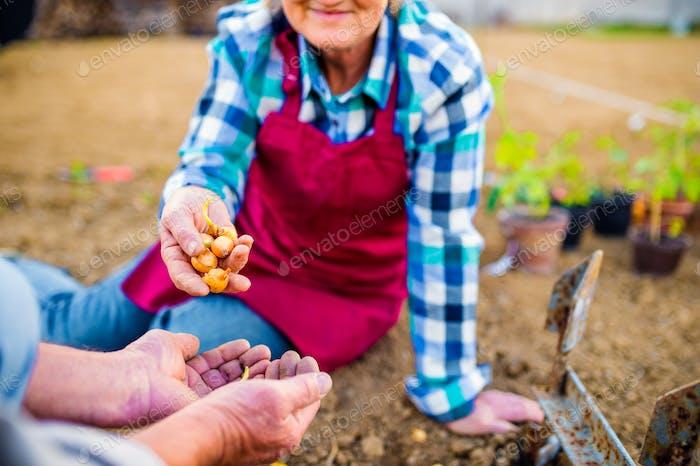 Älteres Paar, das Zwiebeln in ihrem Garten in den Boden pflanzt
