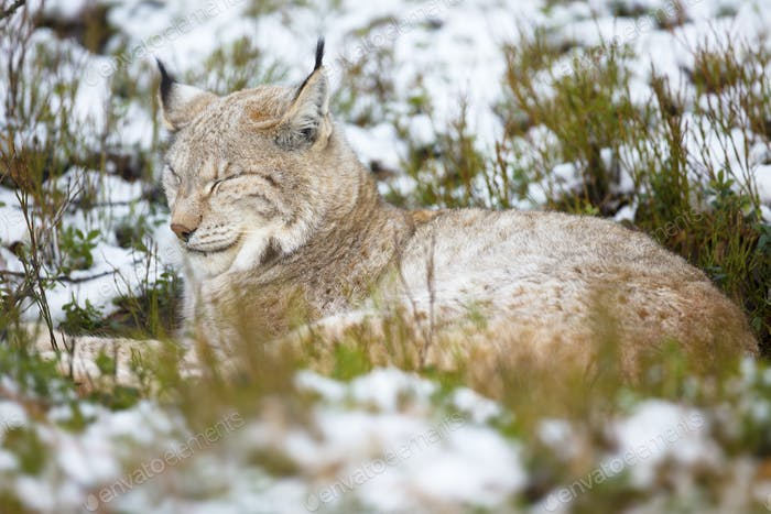 Lynx rests in heather and snow