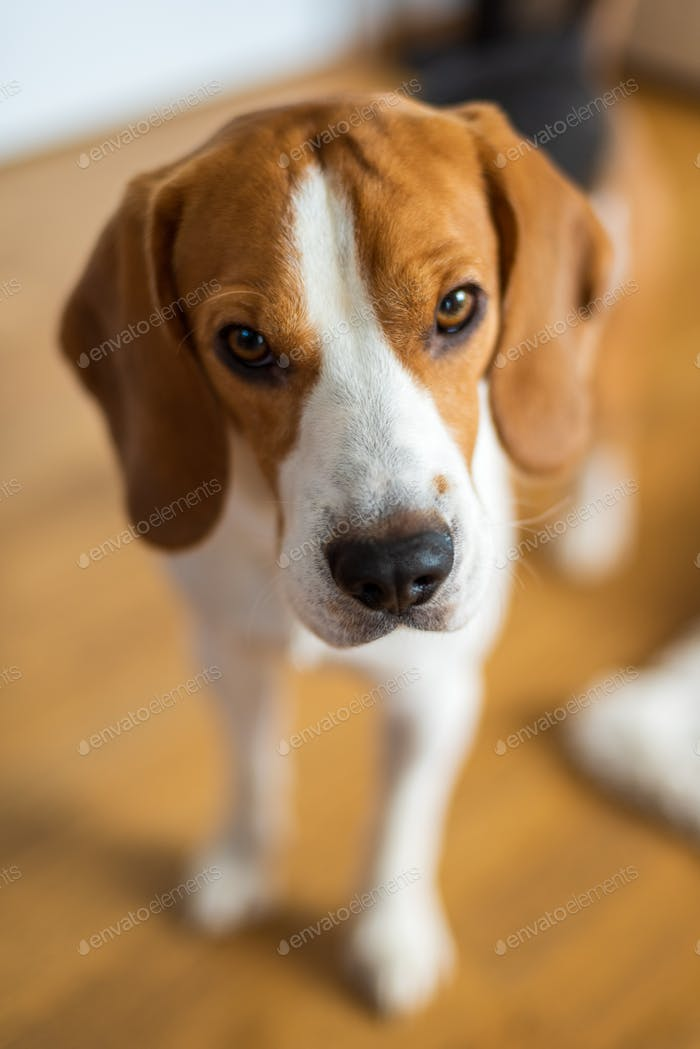 Beagle dog blurry background portrait