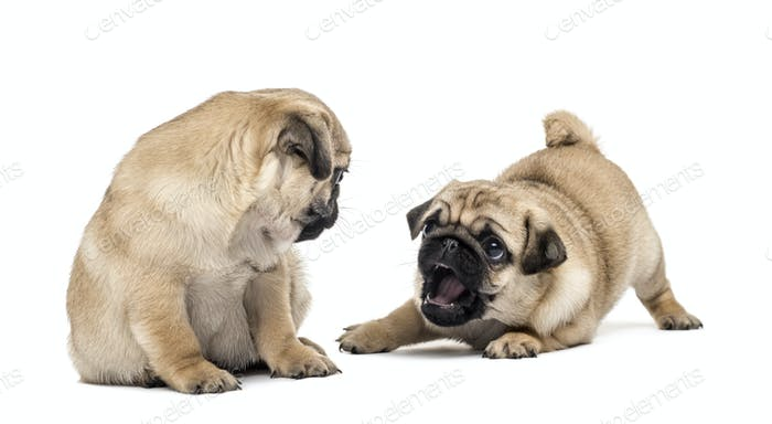 Pug puppies playing together, isolated on white